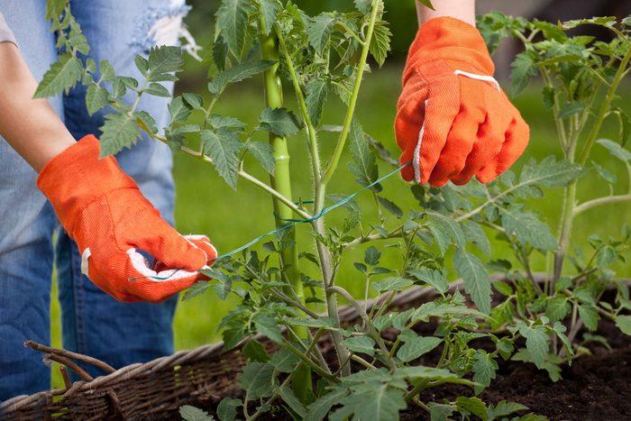 Les tuteurs sont toujours de mise pour les plantations en hauteur.