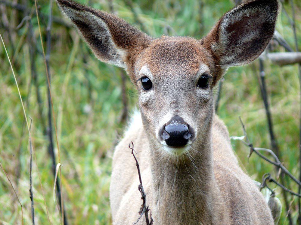 En observant les animaux près des routes, vous pourriez voir un cerf.