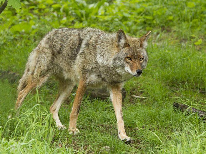 Animaux près des routes: distinguez le coyote du loup.