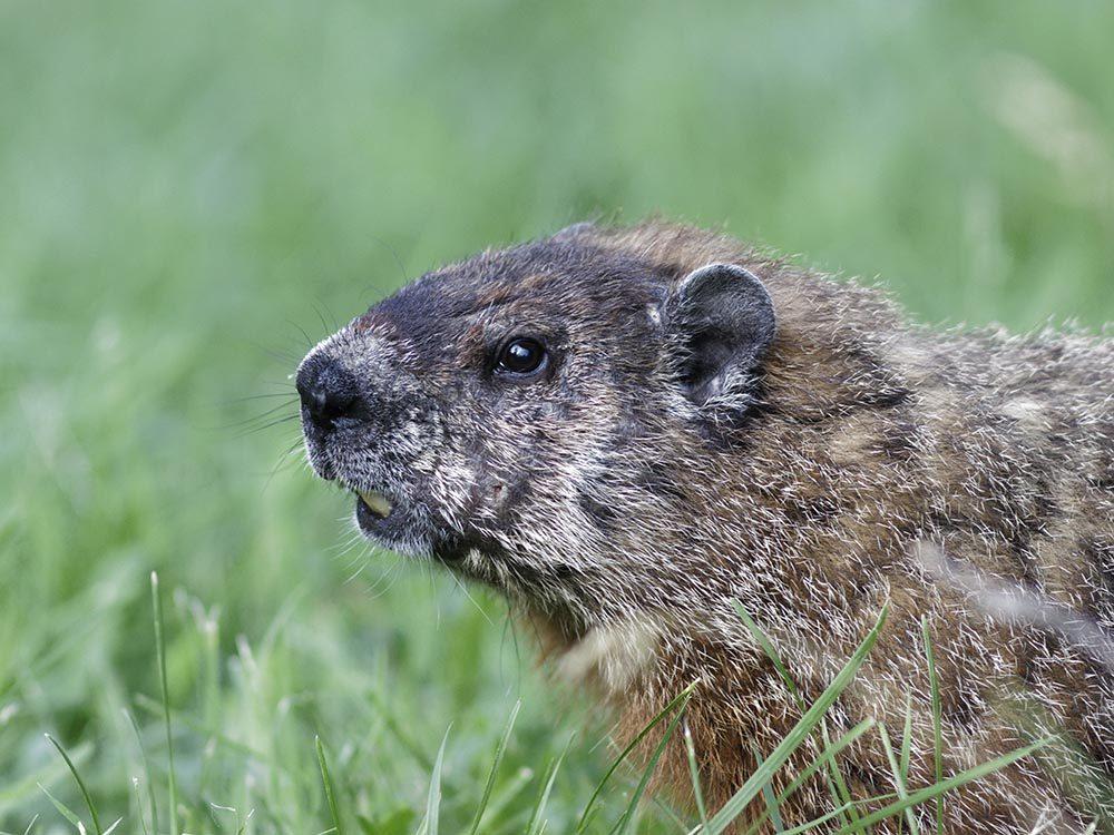 Animaux près des routes: la marmotte grignote parfois sur le bord des autoroutes.