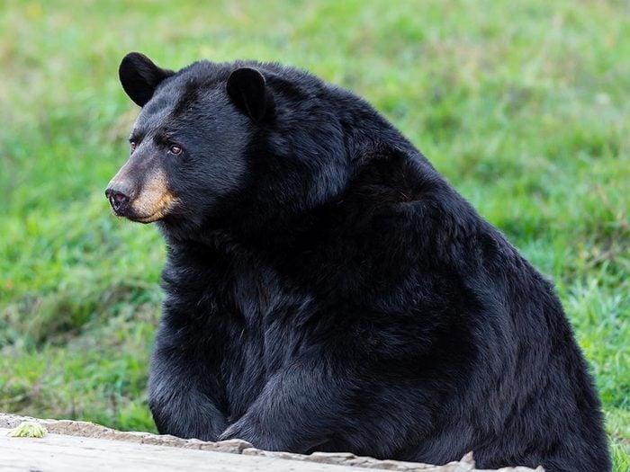 Animaux près des routes: attention aux ours.