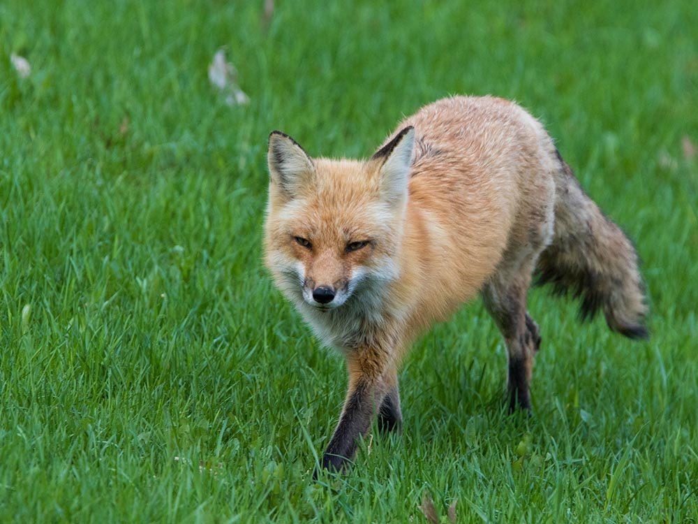 Animaux près des routes: vous pourriez voir un renard.