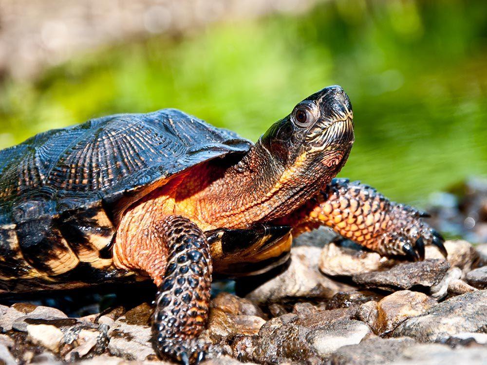 Animaux près des routes: ne soyez pas surpris de voir une tortue.