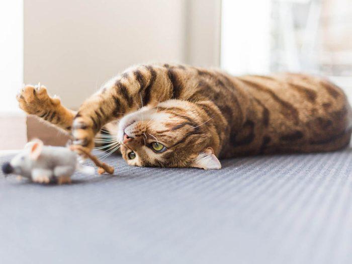 Un vieux chat malade peut sembler avoir un regain d'énergie.