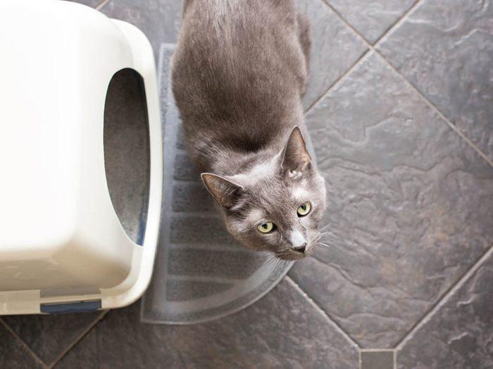 Chat malade: il peut y avoir du sang dans sa litière.