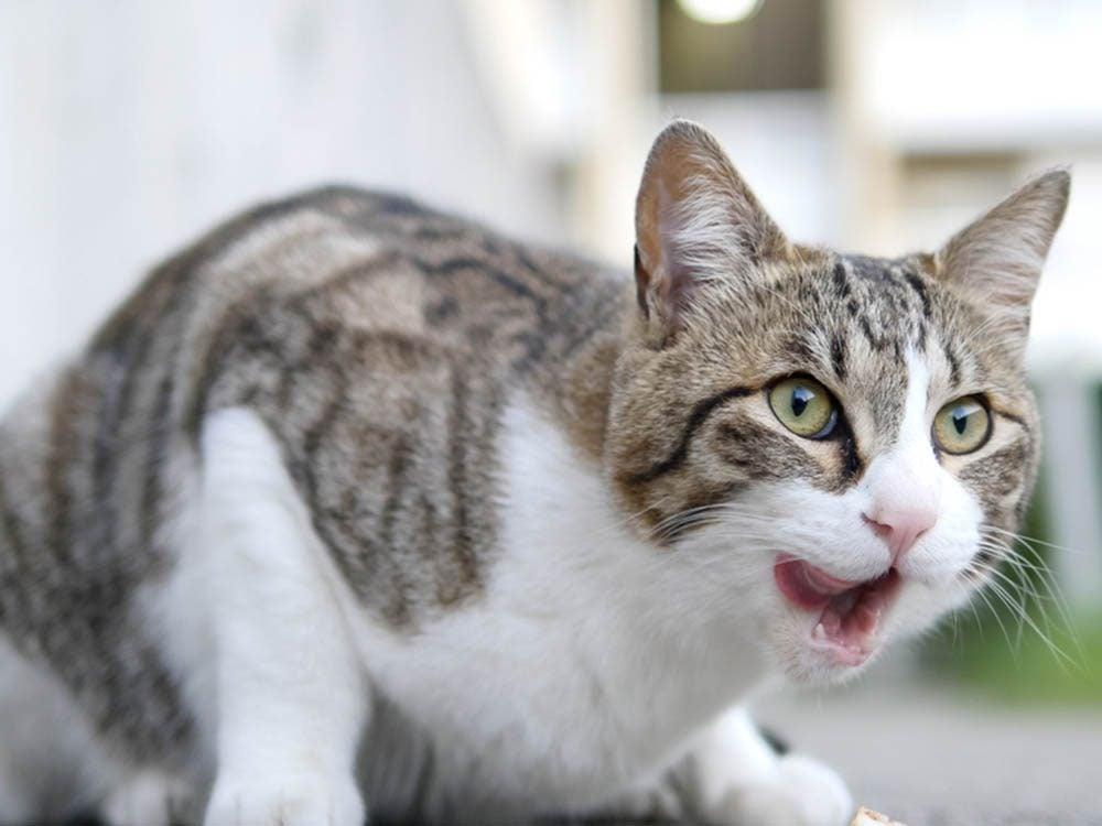 Un chat malade peut beaucoup vomir.