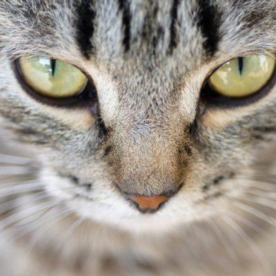 Si votre chat semble malade, il a peut-être des problèmes oculaires.