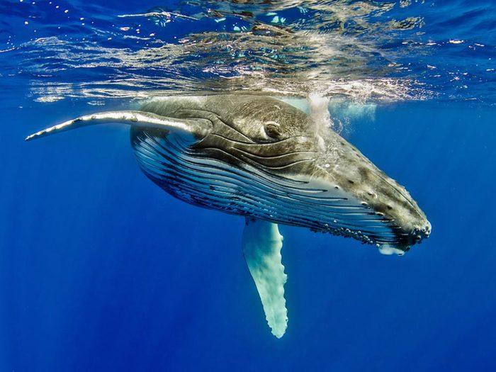 Mystères de la science: les chants des baleines.