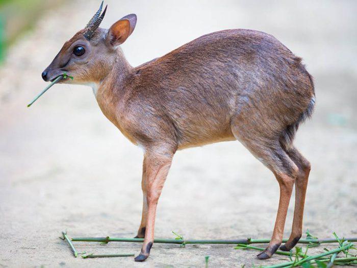 Les plus petits animaux au monde: l'antilope royale.