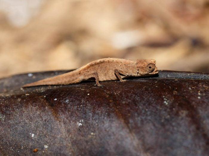 Les plus petits animaux au monde: le caméléon brookesia micra.