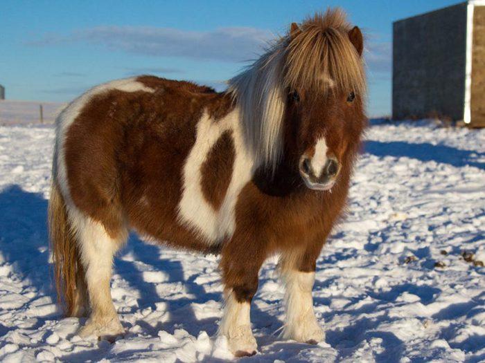 Les plus petits animaux au monde: le cheval miniature.