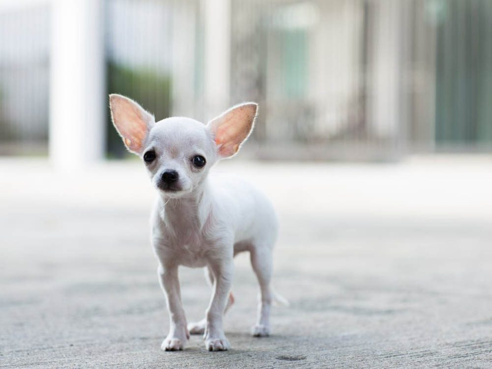 Les plus petits animaux au monde: le chihuahua.