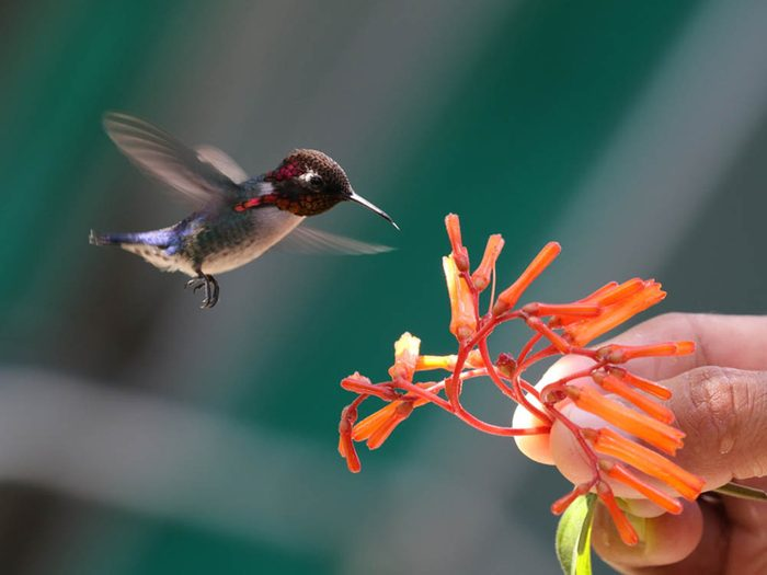 Les plus petits animaux au monde: le colibri d'Elena.
