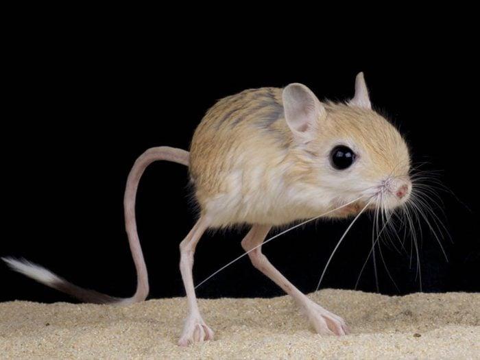 Les plus petits animaux au monde: la gerboise naine à trois doigts.