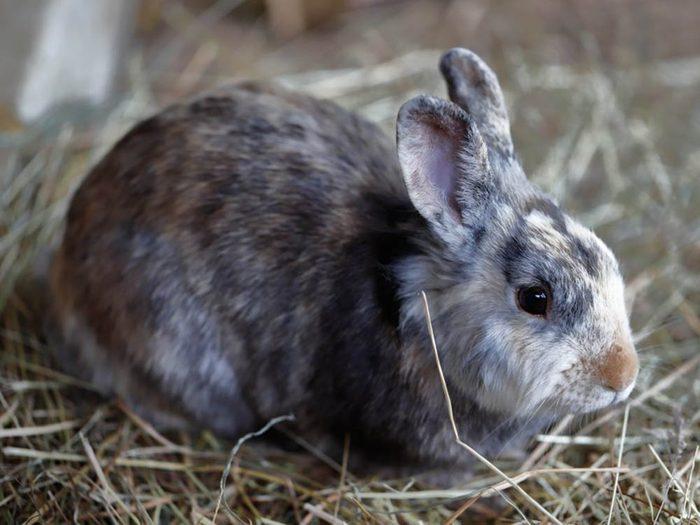 Les plus petits animaux au monde: le lapin pygmée.