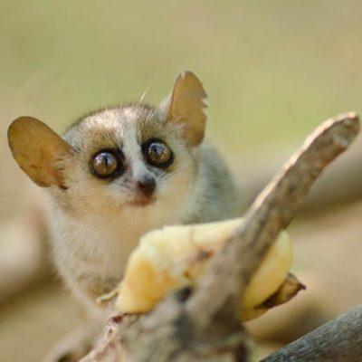 Les plus petits animaux au monde: le microcèbe pygmée.