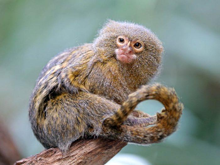 Les plus petits animaux au monde: le oustiti.