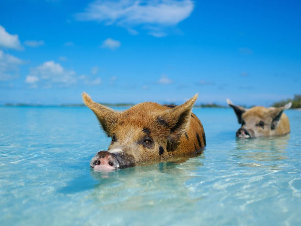 Plus belle plage du monde: Pig Beach