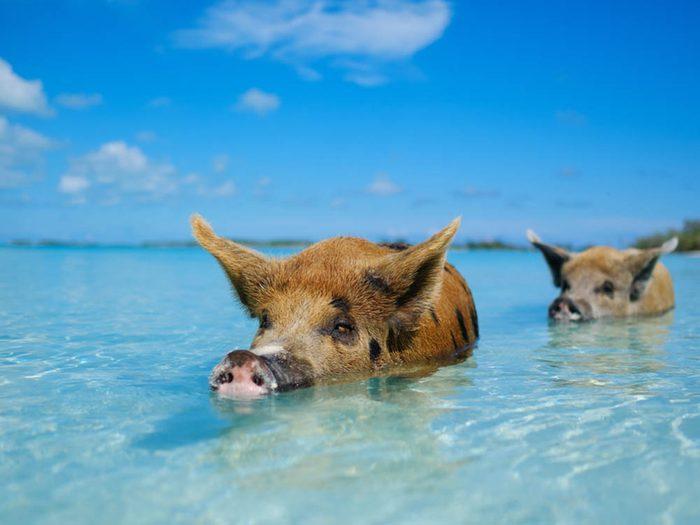 Plus belle plage du monde: Pig Beach