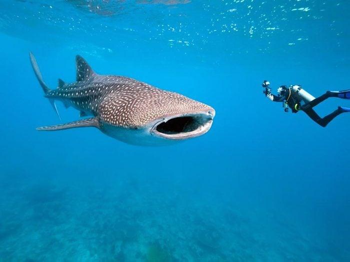 Le requin baleine est impressionnant par sa taille.