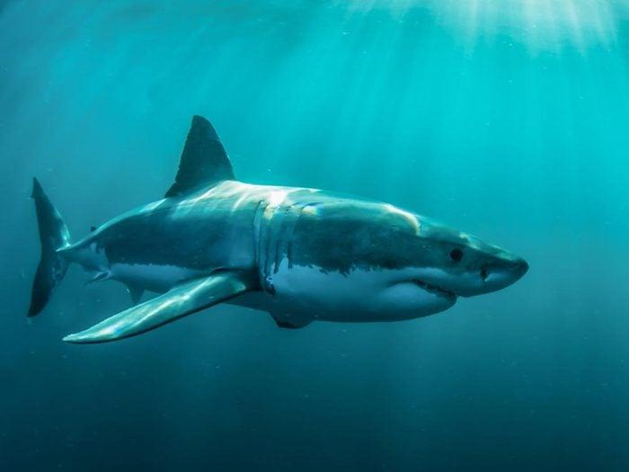 Le requin blanc est un grand voyageur.