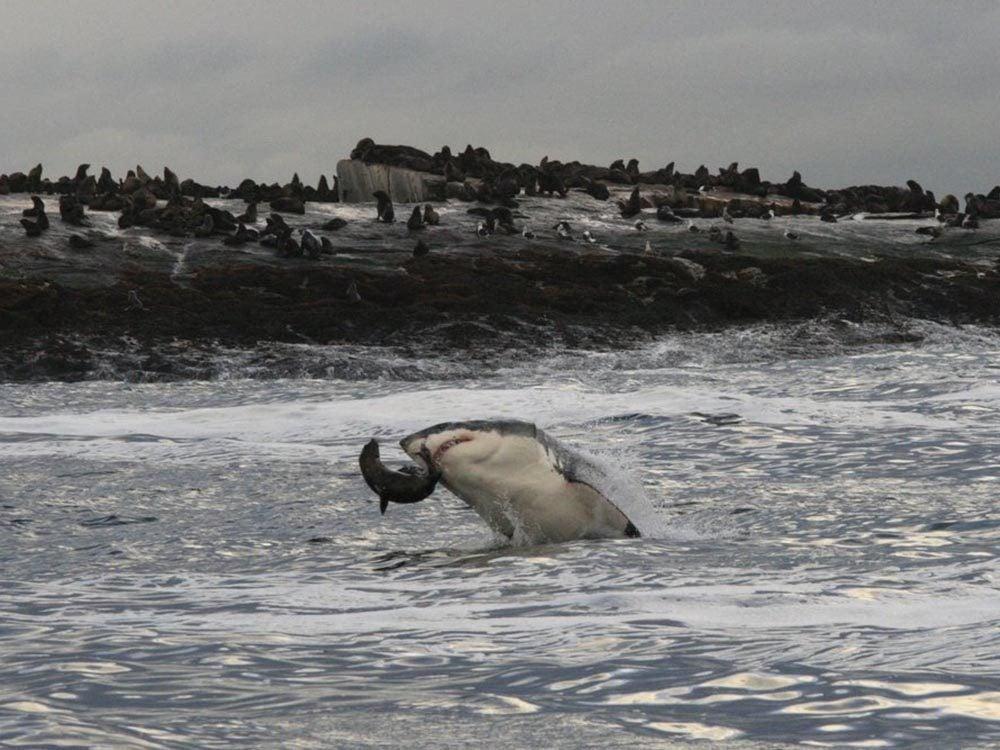 Le requin blanc est rusé.