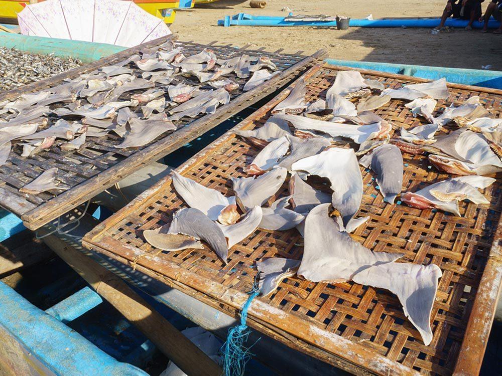 La chasse au requin est une pratique répandue.