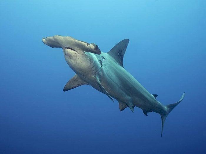Le requin aide au maintient l'équilibre écologique.