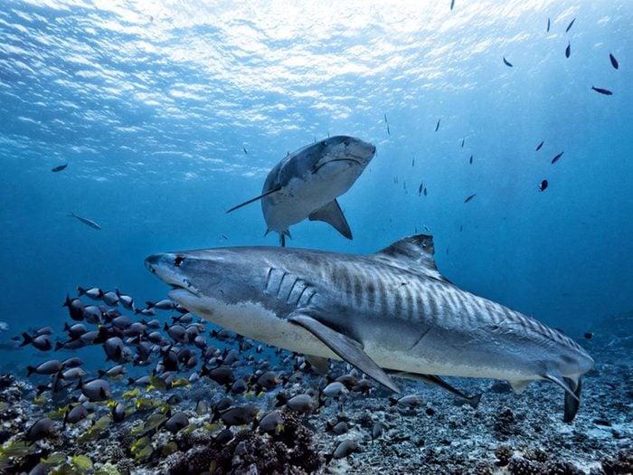 Requin: seules 3 espèces sont dangereuses.