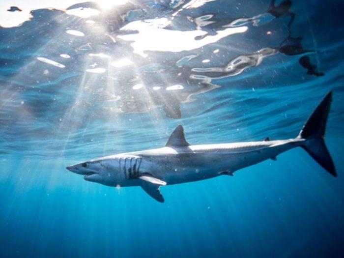 Le requin nage pour respirer.