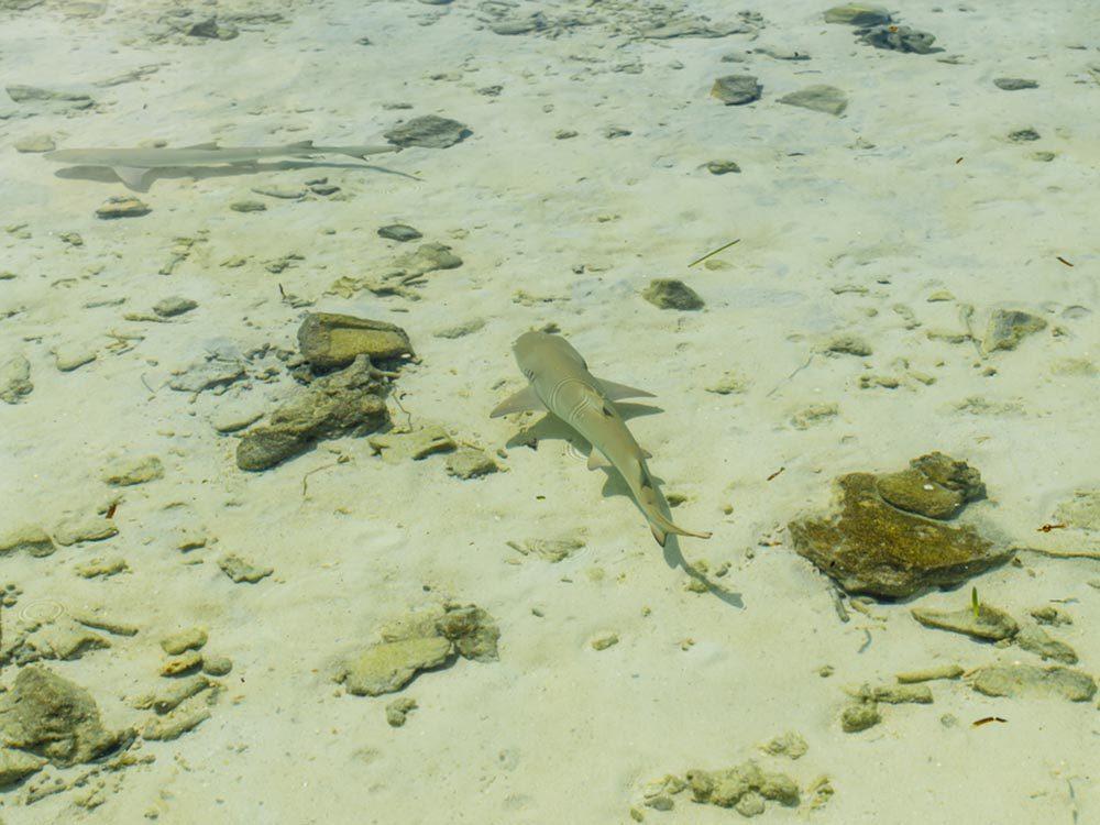 Un requin peut mesurer différente taille selon l'espèce.