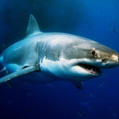 Le requin a une vie très longue.