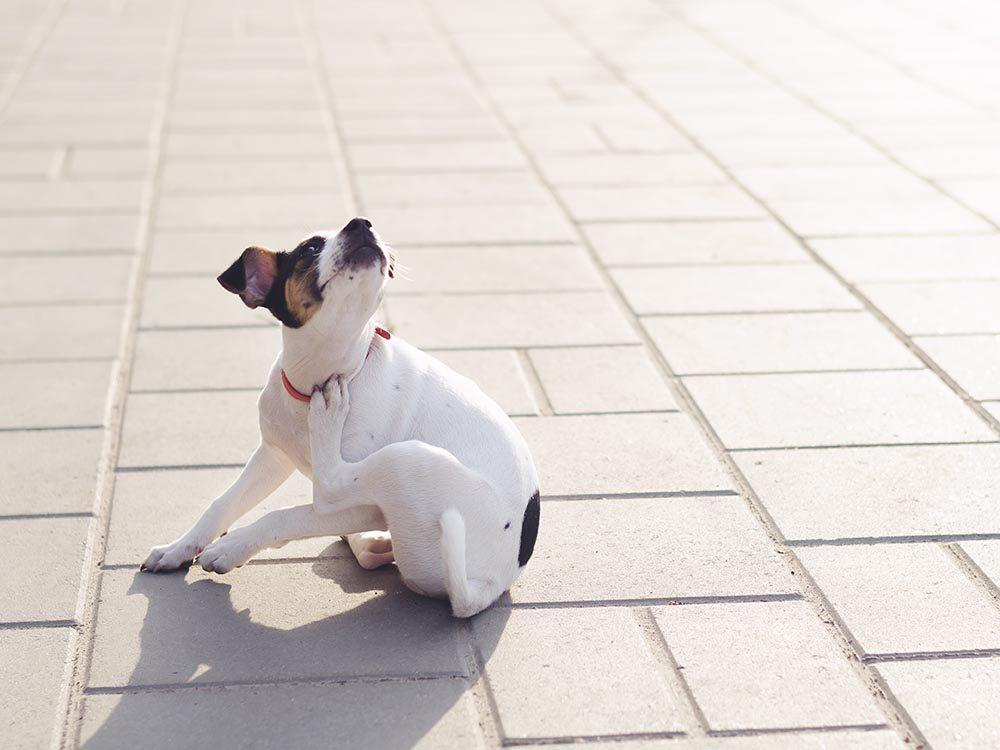 Pour la sécurité de votre chien: prenez garde aux puces et aux tiques.