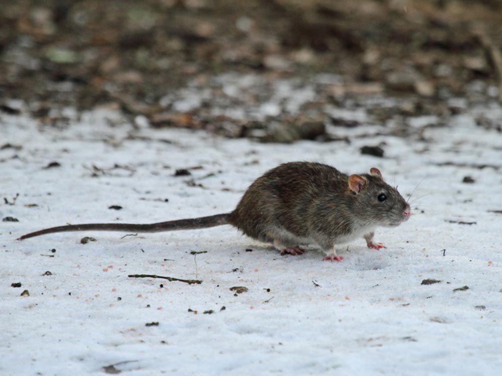 Lors du solstice d'été, les rats dépriment.