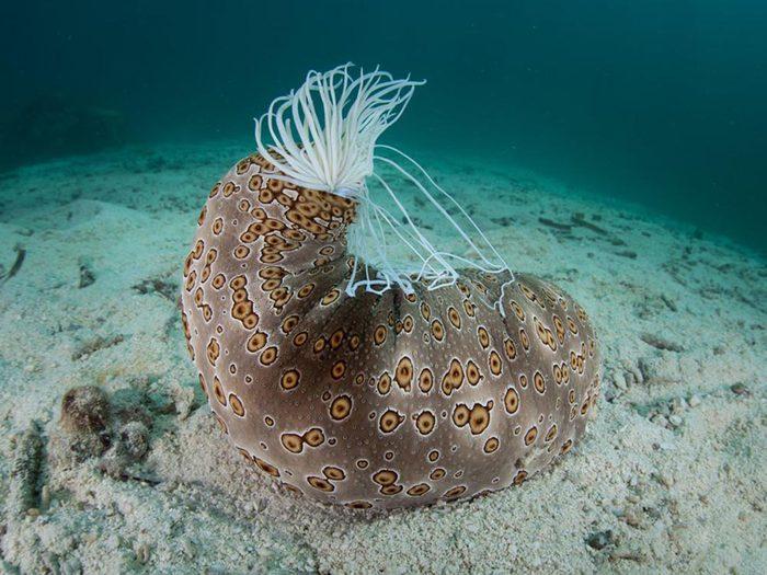 Fait insolite: Les concombres de mer se battent avec leur ventre.