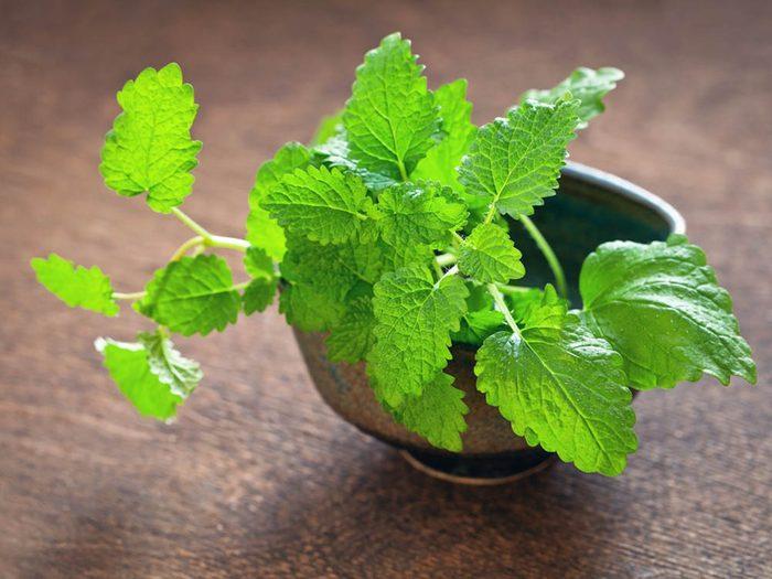 Plantes médicinales: la mélisse est une cousine de la menthe.