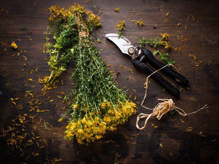 Plantes médicinales: les fleurs de millepertuis peuvent être consommer pour guérir une dépression légère.