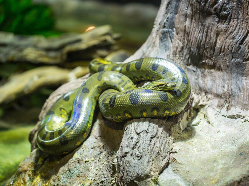 L'anaconda vert fait partie des plus gros animaux du monde.