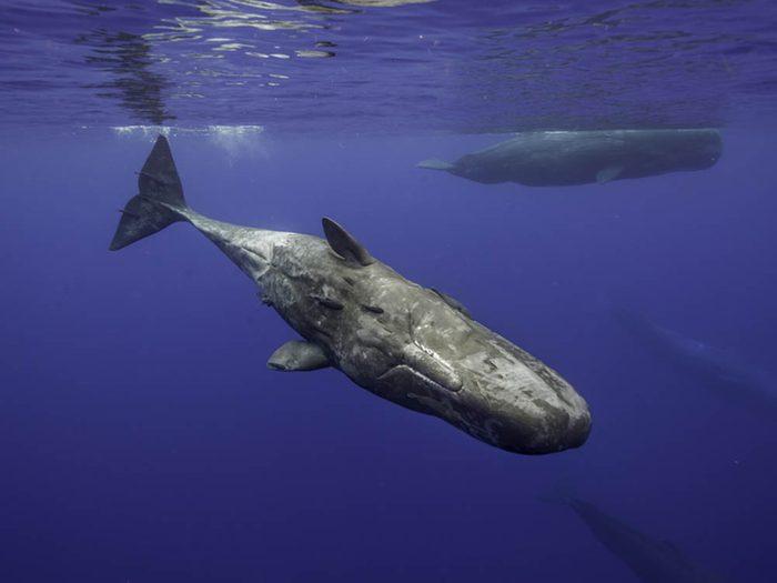 Le grand cachalot fait partie des plus gros animaux du monde.