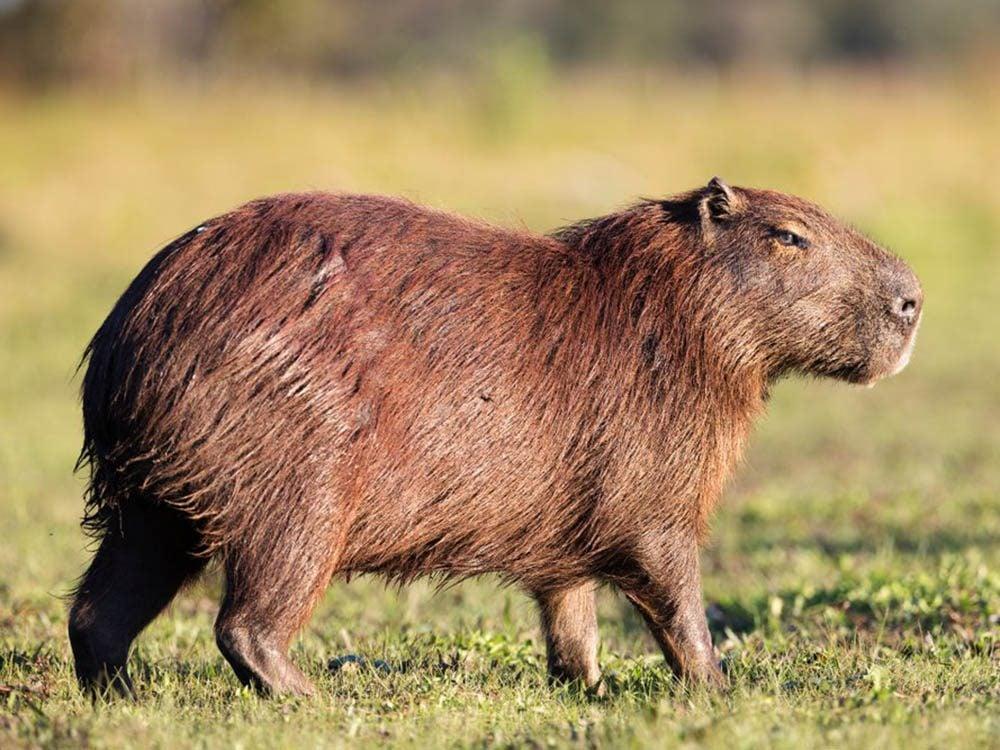 Le capybara (Cabiaï) fait partie des plus gros animaux du monde.