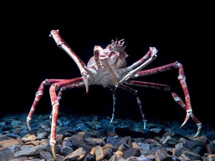 Le crabe-araignée du Japon fait partie des plus gros animaux du monde.