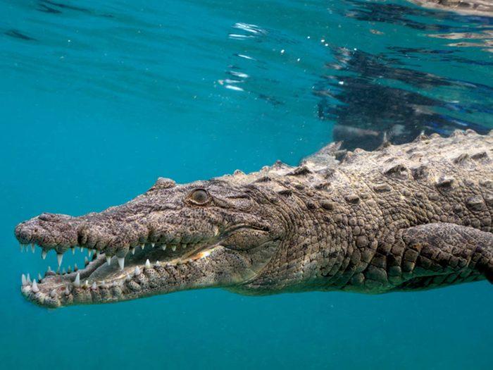Le crocodile marin fait partie des plus gros animaux du monde.