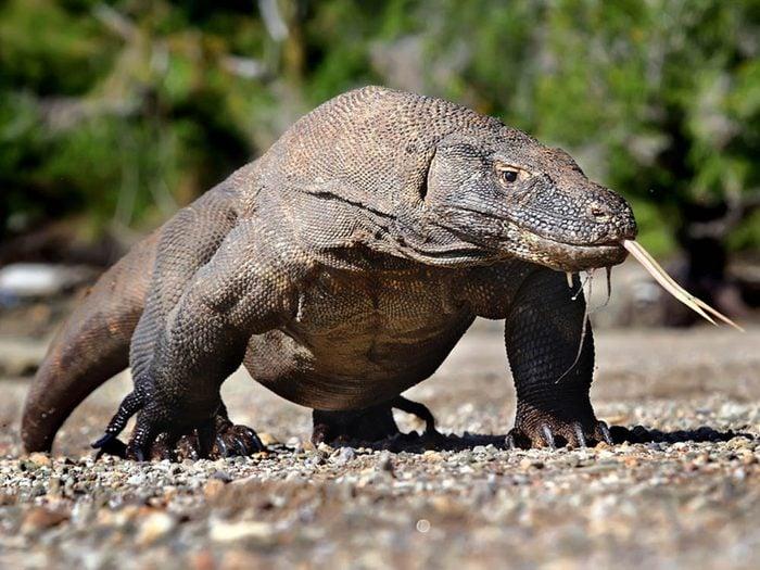 Le dragon de Komodo fait partie des plus gros animaux du monde.