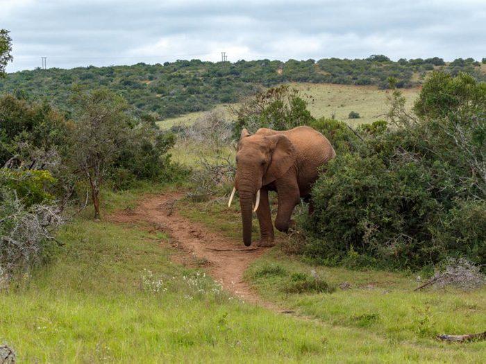 L'éléphant de savane africaine fait partie des plus gros animaux du monde.