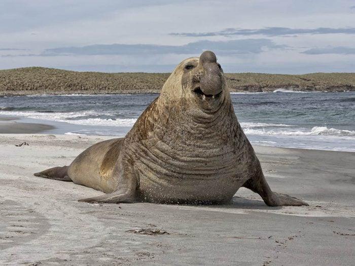 L'éléphant de mer du Sud fait partie des plus gros animaux du monde.