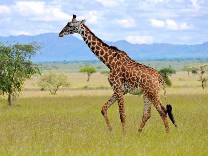 La girafe fait partie des plus gros animaux du monde.