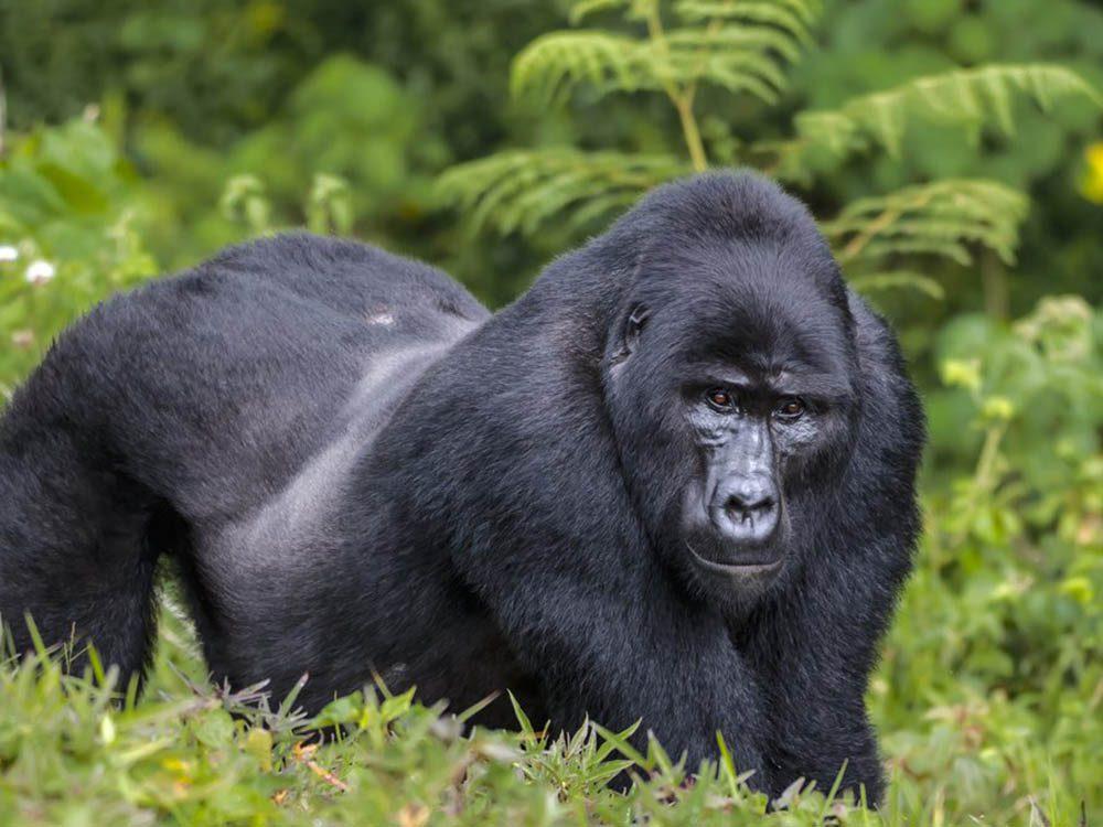 Le gorille de l'Est fait partie des plus gros animaux du monde.