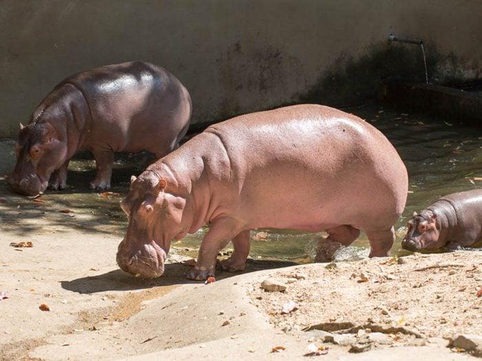 L'hippopotame fait partie des plus gros animaux du monde.