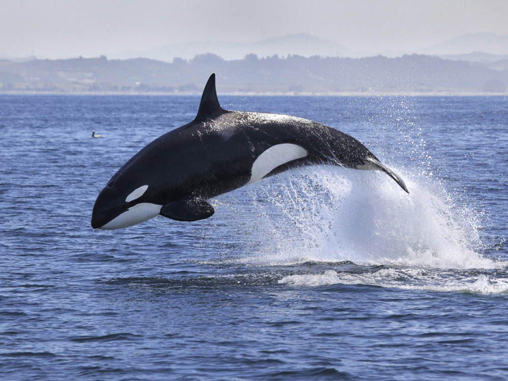L'orque fait partie des plus gros animaux du monde.