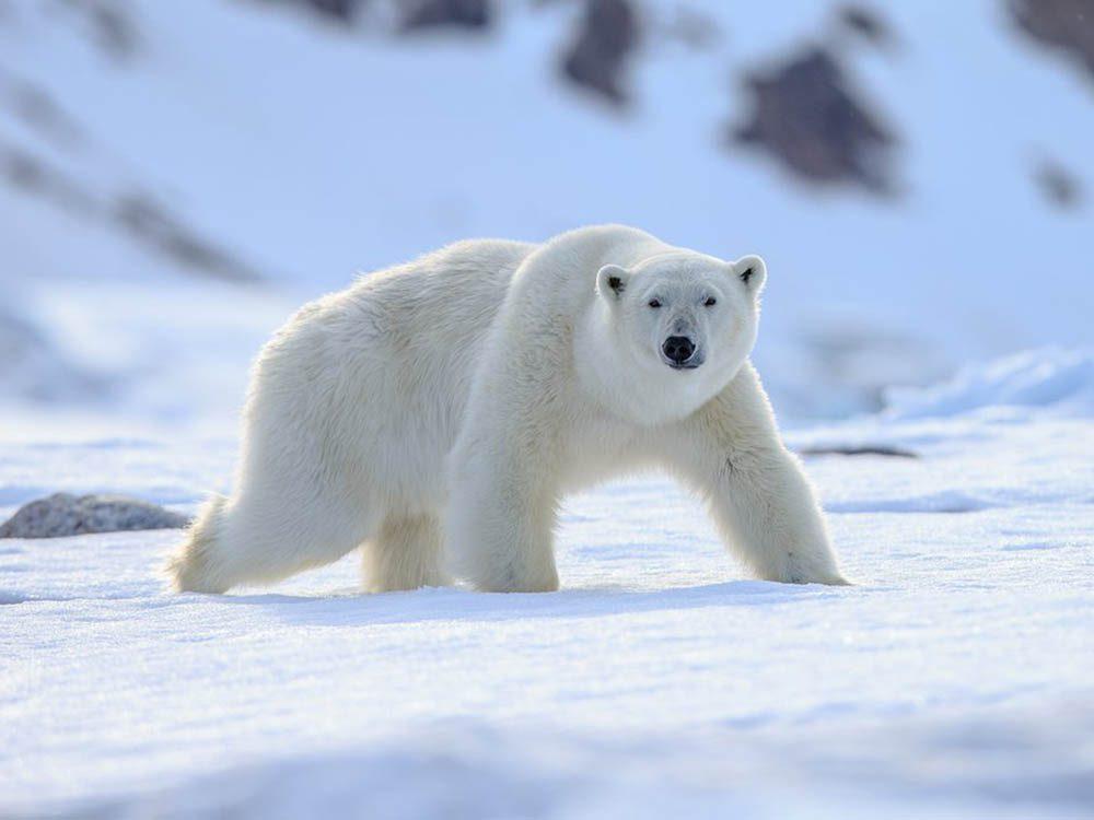 L'ours polaire fait partie des plus gros animaux du monde.